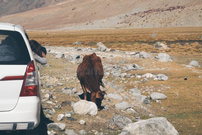 Um turista da mulher que toma uma foto de uma vaca marrom ao sentar-se no carro com montanha fotografia de stock royalty free