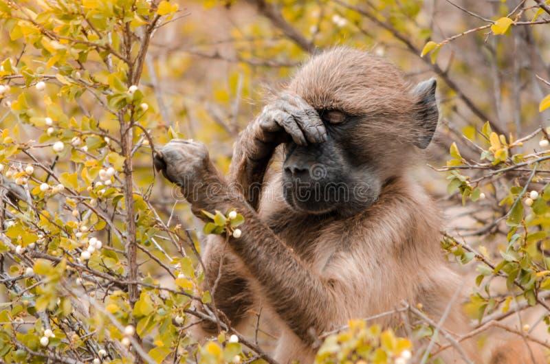 Um ursinus do papio do babuíno nos arbustos Parque nacional de Kruger, ?frica do Sul imagens de stock royalty free
