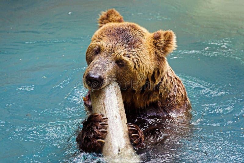 Um urso fotografia de stock royalty free
