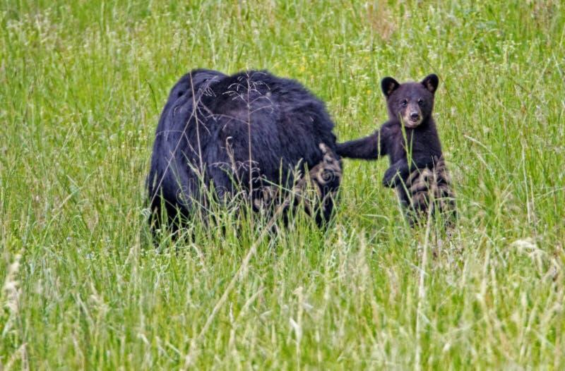 Um urso Cub preto pequeno está e inclina-se em sua mamã fotografia de stock royalty free