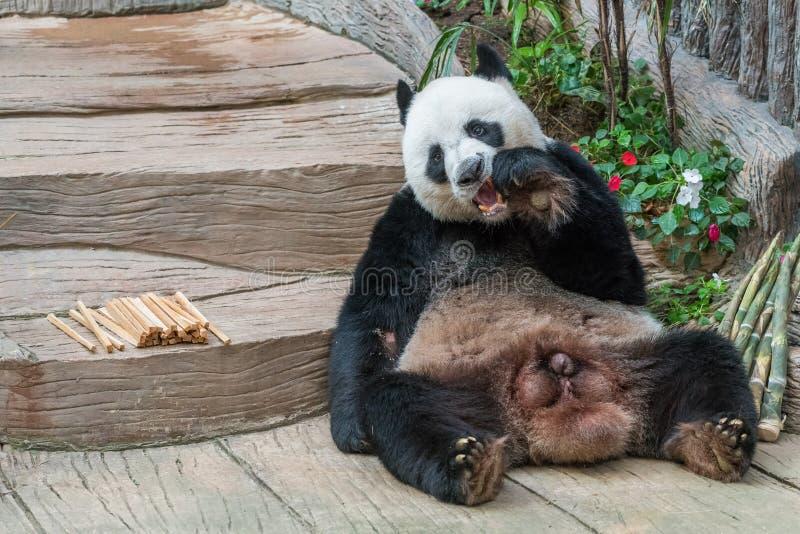 Um urso de panda gigante masculino aprecia seu café da manhã imagens de stock royalty free