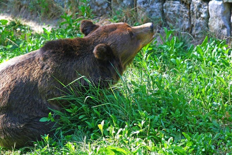 Um urso marrom grande com fome no jardim zoológico foto de stock royalty free