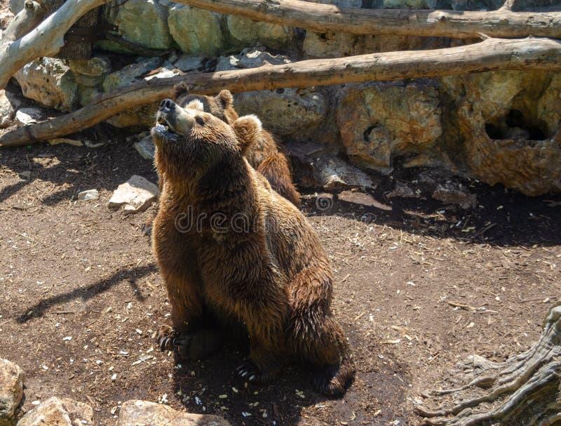 Um urso marrom grande no parque do zoosafari, Fasano, Itália fotografia de stock royalty free