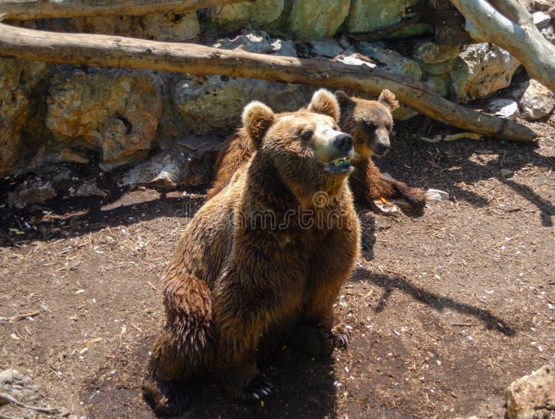 Um urso marrom no jardim zoológico Itália do safari de Fasano Apulia imagem de stock royalty free