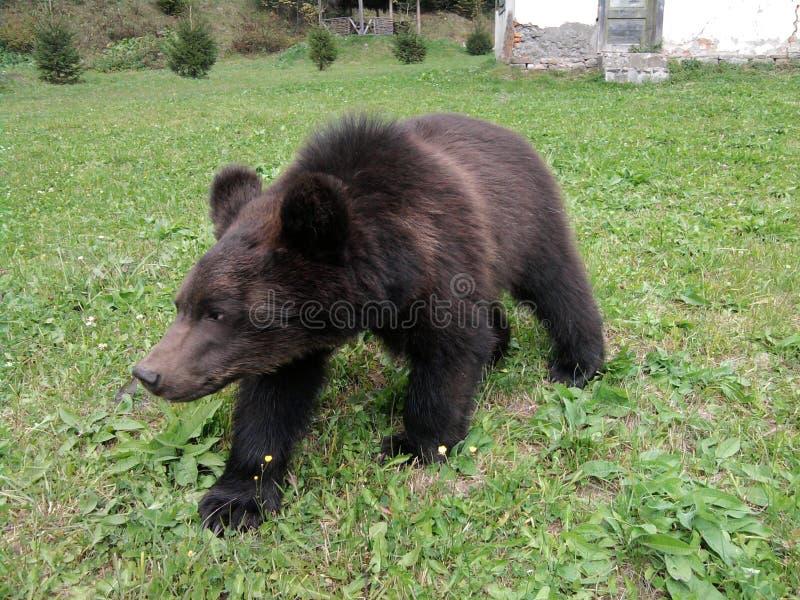 Um urso marrom pequeno selvagem agradável fotografia de stock royalty free