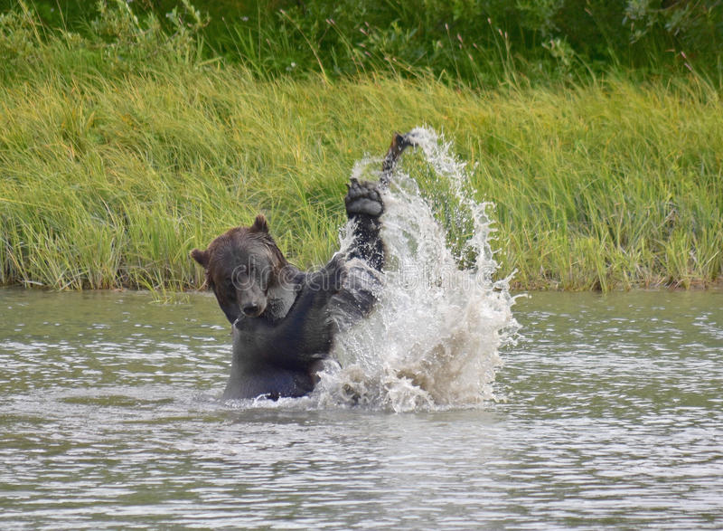 Um urso pardo magestic foto de stock royalty free