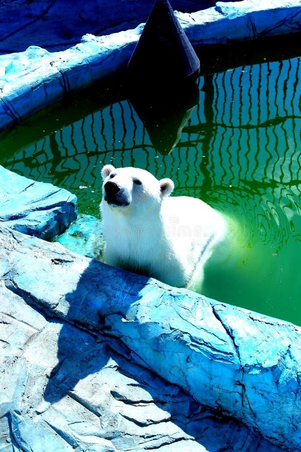 Um urso polar branco de banho tratamentos da água para o predador foto de stock