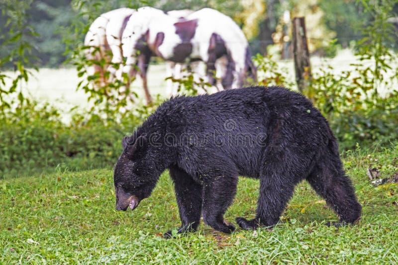 Um urso preto e os cavalos coexistem na angra de Cades imagem de stock royalty free
