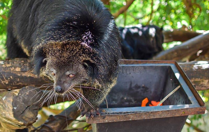 Um urso preto está escalando a árvore fotos de stock royalty free