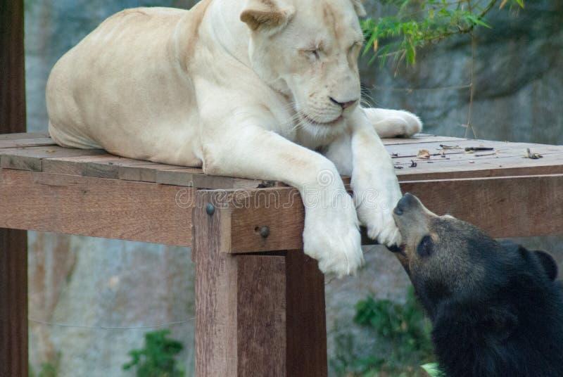 Um urso preto está mordendo playfully a pata de um leão fêmea branco que esteja adormecido em uma plataforma de madeira fotos de stock