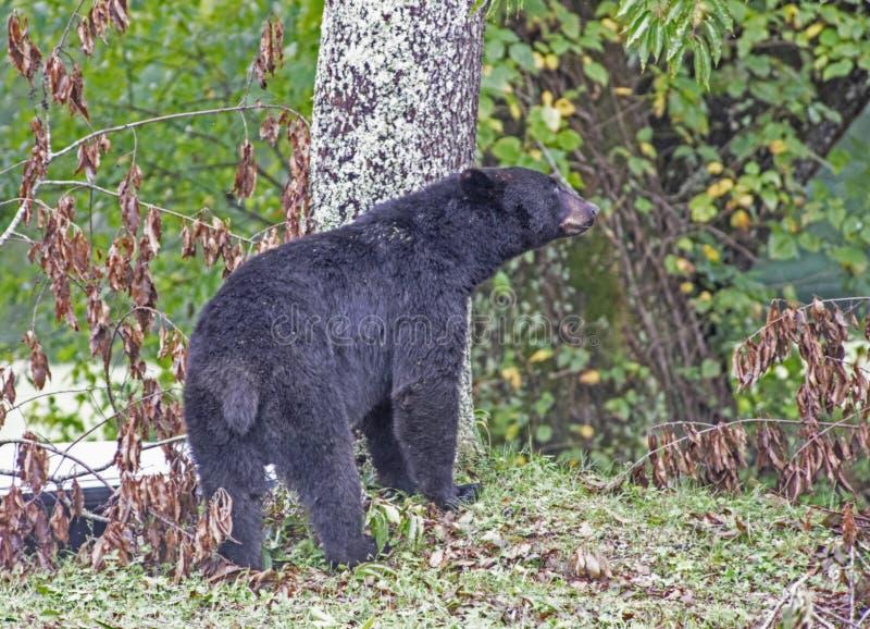 Um urso preto procura cerejas nas copas de árvore imagem de stock