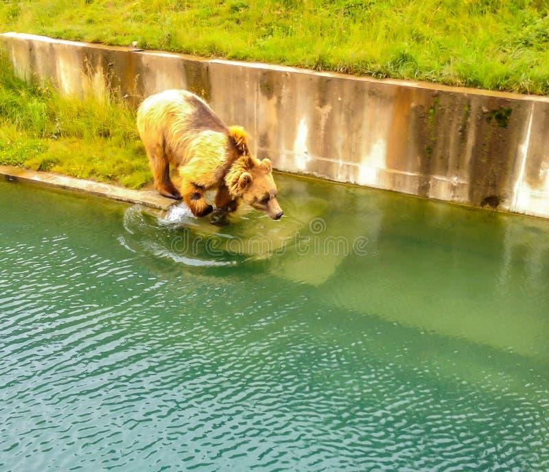 Um urso que prepara-se para saltar na água em Bern Bear Pit Barengraben em Bern Bear Park, Berne, Suíça, Europa foto de stock royalty free