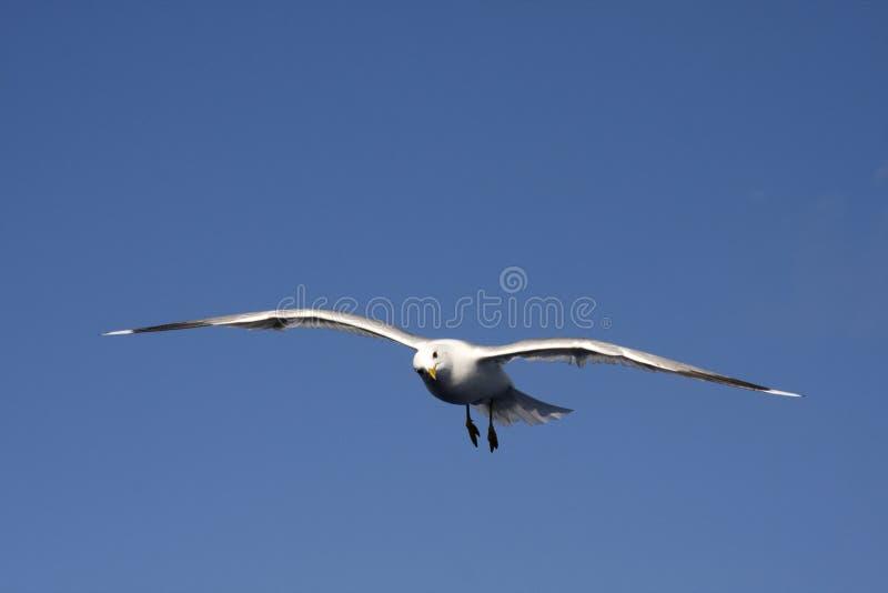 Um vôo da gaivota no céu azul fotografia de stock
