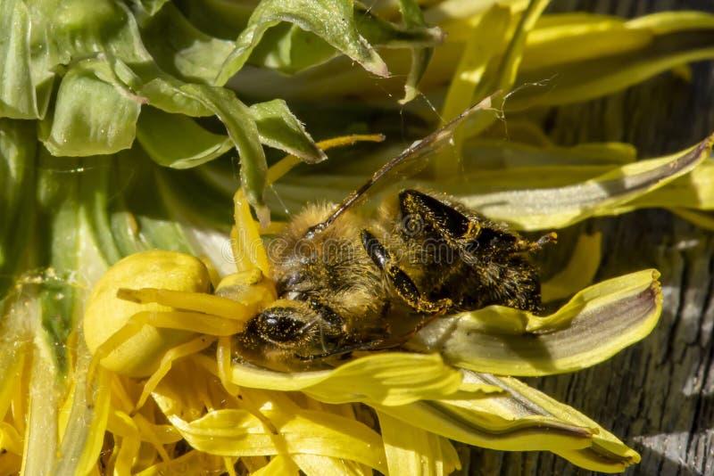 Um vatia fêmea amarelo de Misumena da aranha do caranguejo travou uma abelha Anthophila que voasse para polinizar um dente-de-leã foto de stock