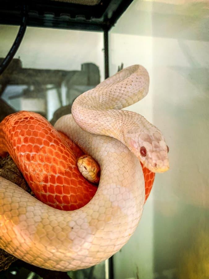 Um vermelho masculino e um guttatus branco fêmea de Pantherophis da serpente de milho foto de stock royalty free