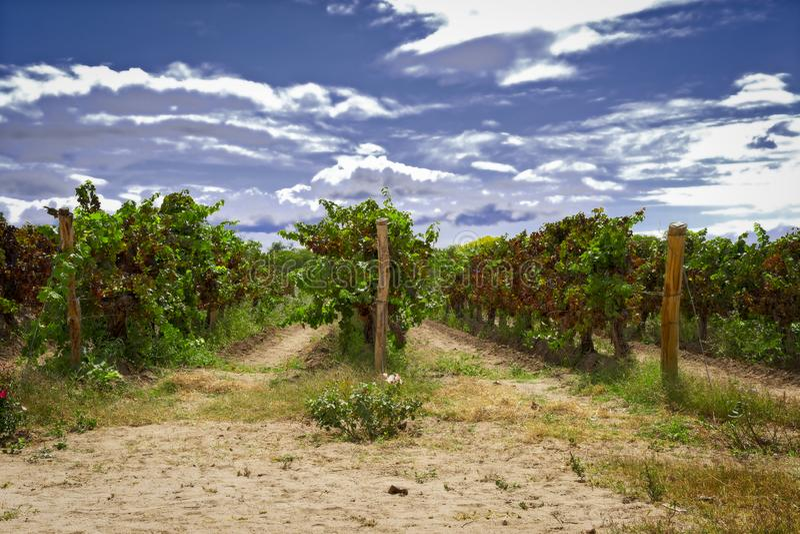Um vinhedo de Argentina em Cafayate fotos de stock