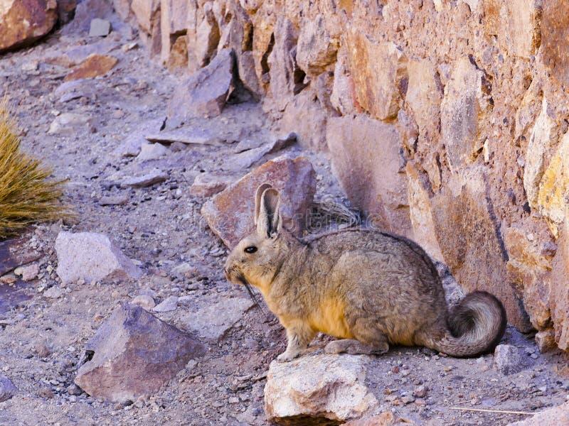 Um Viscacha da família da chinchila no altiplano do sul de Bolívia Ámérica do Sul imagem de stock