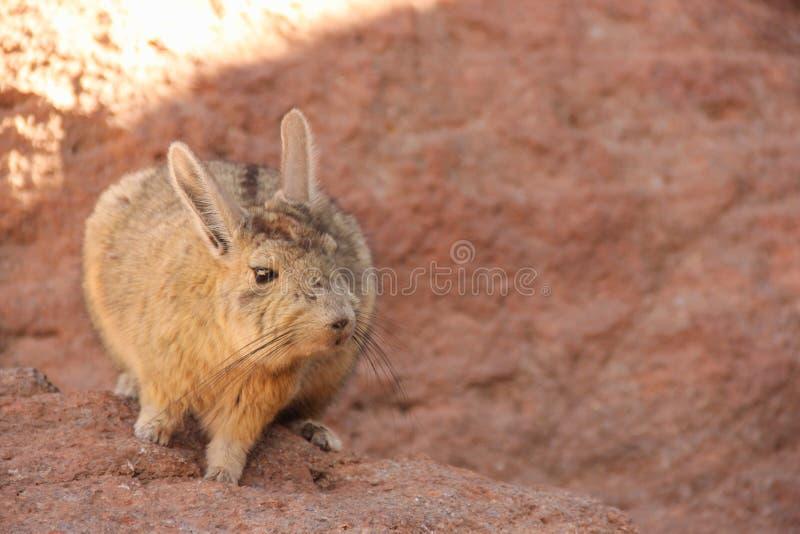 Um Viscacha selvagem em Bolívia foto de stock