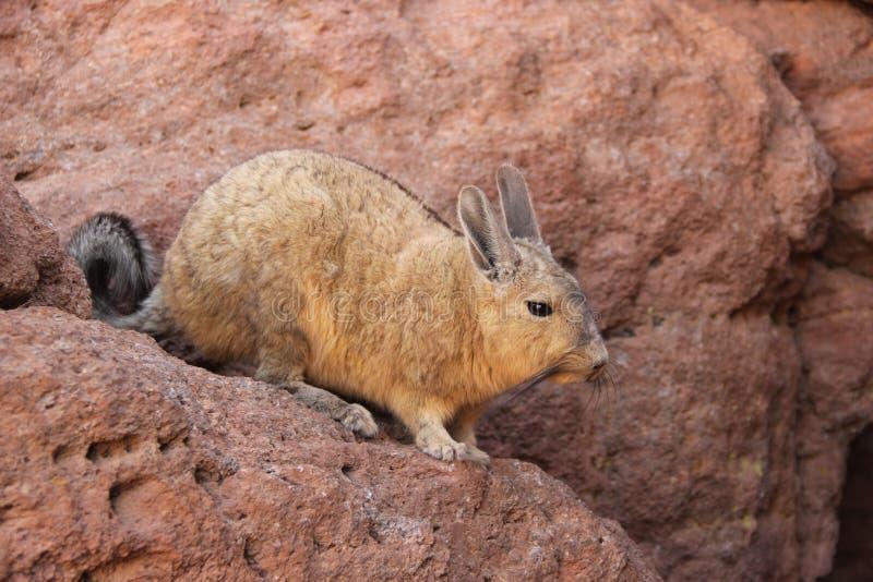 Um Viscacha selvagem em Bolívia fotografia de stock