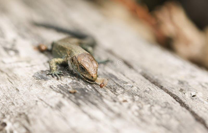 Um vivipara comum de Zootoca do Lacerta do lagarto do bebê que come um inseto que apenas travasse foto de stock royalty free