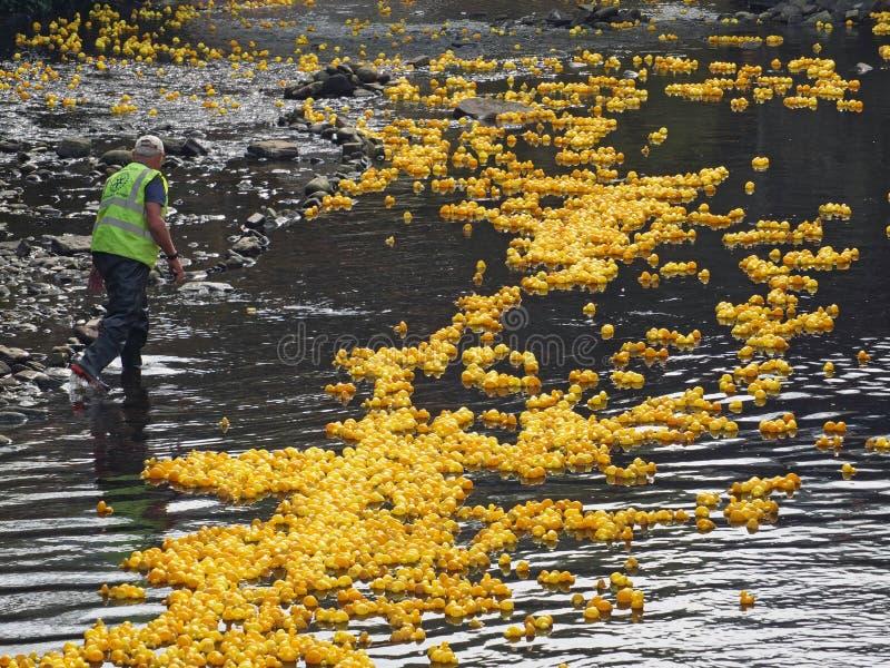 Um voluntário do clube giratório no rio no anuário hebden a raça do pato da ponte imagem de stock royalty free