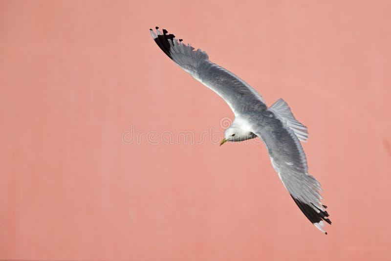 Um voo comum do canus do Larus da gaivota ou da gaivota de miado na frente de uma parede cor-de-rosa concreta nos portos de Brema fotografia de stock royalty free