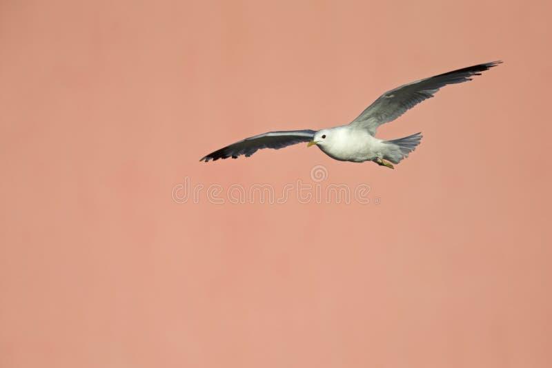Um voo comum do canus do Larus da gaivota ou da gaivota de miado na frente de uma parede cor-de-rosa concreta nos portos de Brema imagens de stock