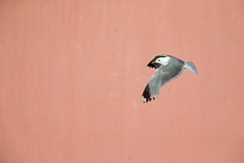 Um voo comum do canus do Larus da gaivota ou da gaivota de miado na frente de uma parede cor-de-rosa concreta nos portos de Brema foto de stock royalty free