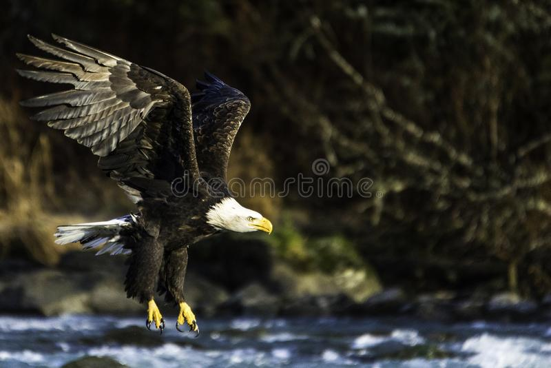 Um voo da águia americana sobre um rio que caça para o jantar em Haines Alaska imagem de stock