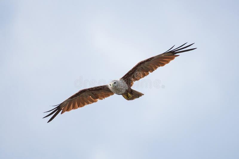 Um voo da águia de mar no céu imagem de stock