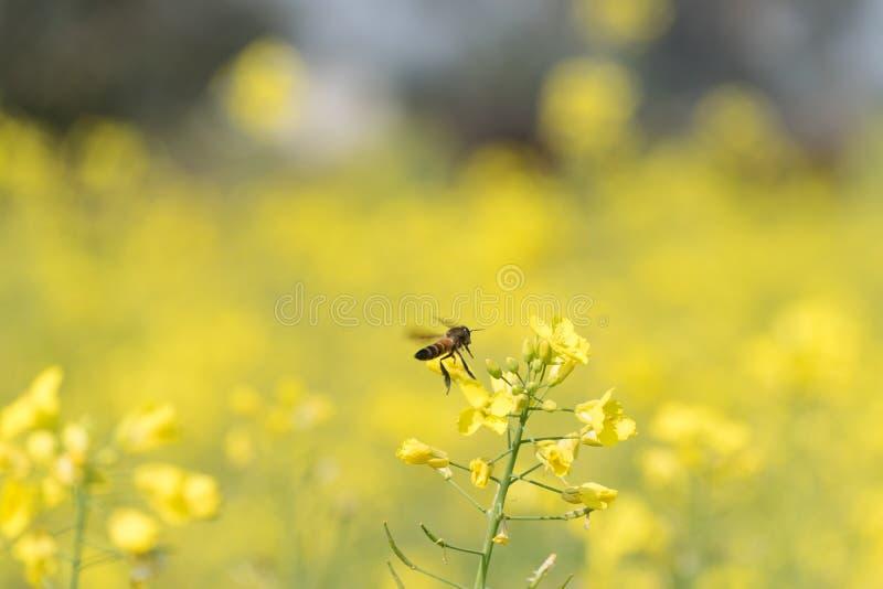 Um voo da abelha em torno das folhas da mostarda imagens de stock