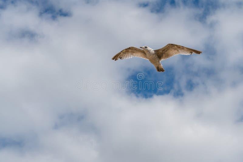 Um voo da gaivota no céu imagens de stock