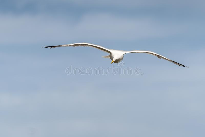 Um voo da gaivota no céu foto de stock