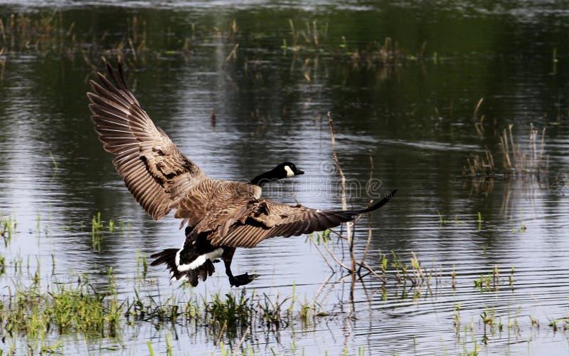 Um voo do ganso de Canadá fotografia de stock
