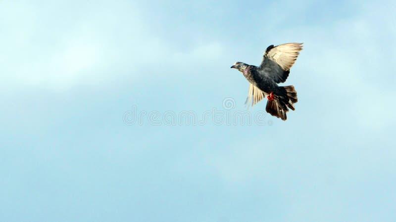 Um voo do pombo no céu foto de stock royalty free