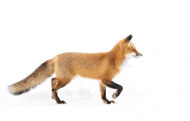 Um vulpes do Vulpes da raposa vermelha isolado no fundo branco com caça espessa da cauda através da neve recentemente caída no pa imagem de stock