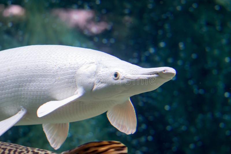 Um wh branco da espátula de Atractosteus do peixe-agulha do jacaré da neve rara da platina foto de stock royalty free