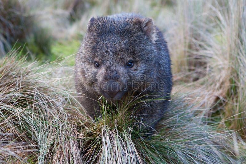 Wombat na pastagem imagem de stock royalty free