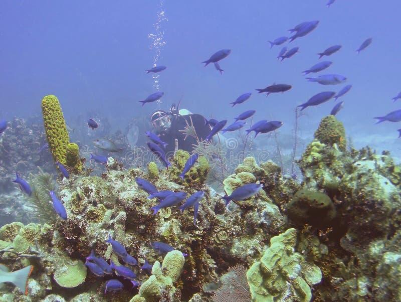 Um Wrasse de Watches Schooling Creole do mergulhador de mergulhador imagem de stock