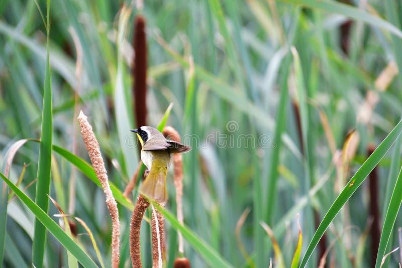 Um Yellowthroat comum que empoleira-se no spikelet fotografia de stock royalty free