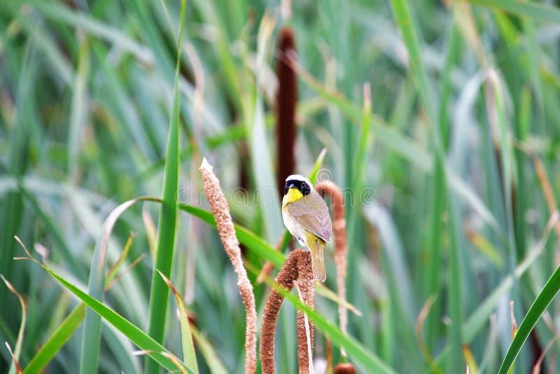 Um Yellowthroat comum que empoleira-se no spikelet foto de stock