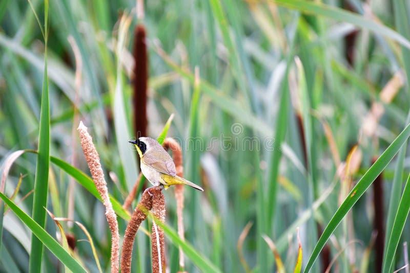 Um Yellowthroat comum que empoleira-se no spikelet foto de stock royalty free