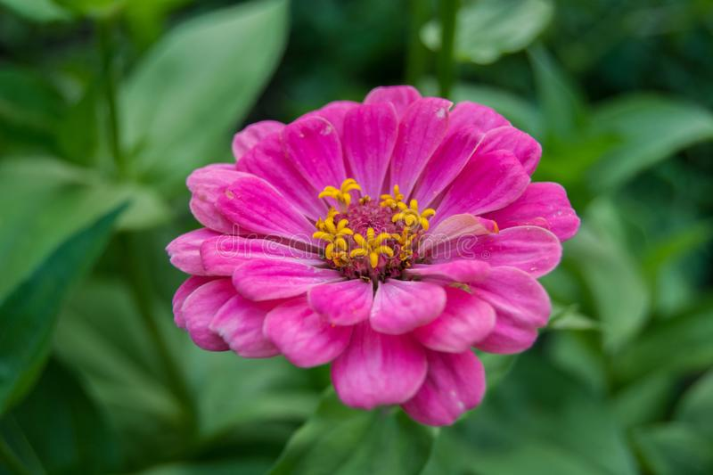 Um zinnia cor-de-rosa - close up foto de stock