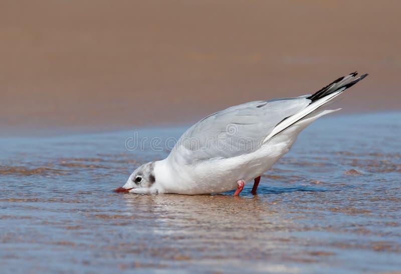 Uma água potável de cabeça negra da gaivota na praia fotos de stock