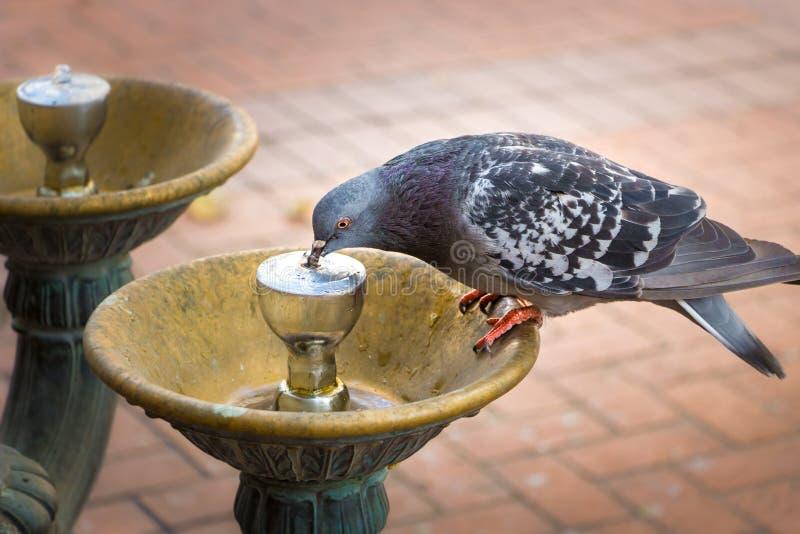 Uma água potável do pombo de uma fonte de Benson foto de stock