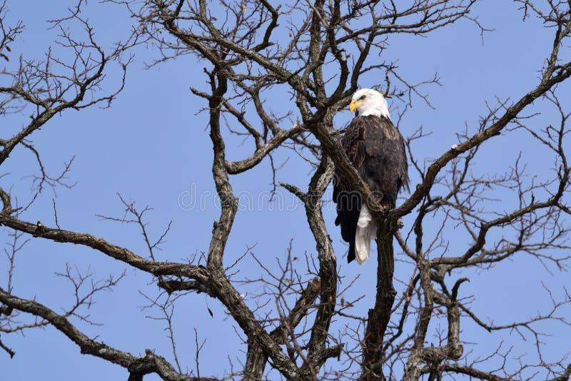Uma águia americana em uma árvore fotografia de stock royalty free
