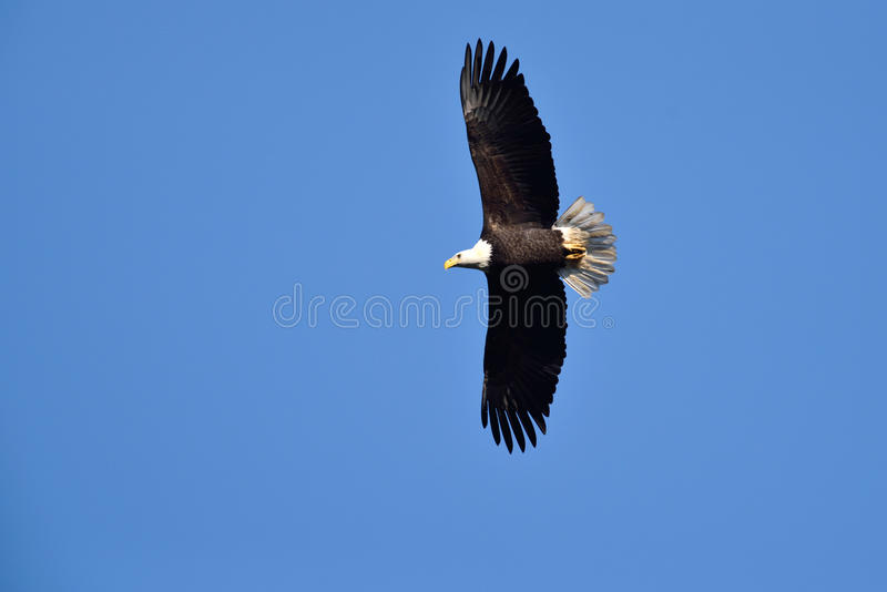 Uma águia americana em voo imagem de stock royalty free