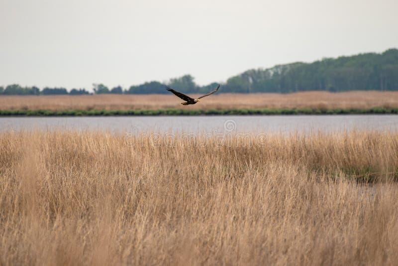 Uma águia americana em voo sobre a grama do pântano com a baía no fundo foto de stock