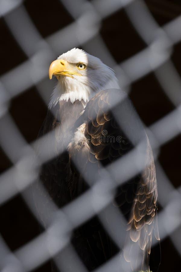 Uma águia americana na força e a dignidade levantam atrás da cerca chain, fá imagens de stock