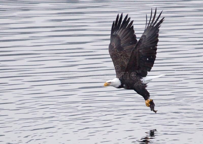 Uma águia calva tira após o prendedor. imagem de stock royalty free